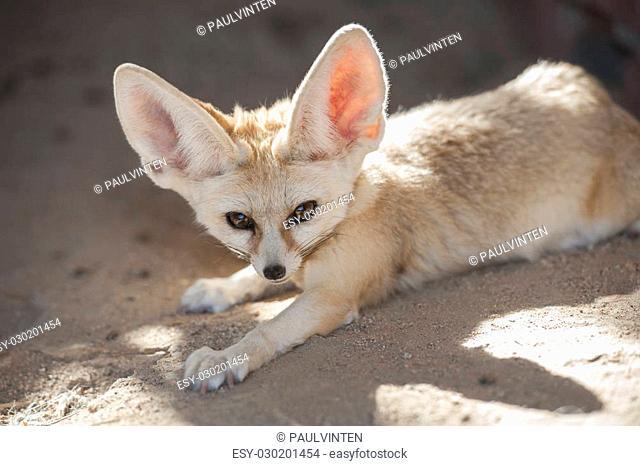 Closeup of desert fennec fox Vulpes zerda in captivity lying down