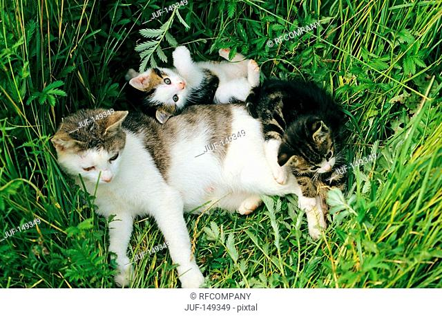 cat with two kittens - lying in the grass