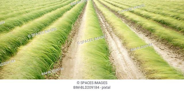 Tall iris grass growing in crop field