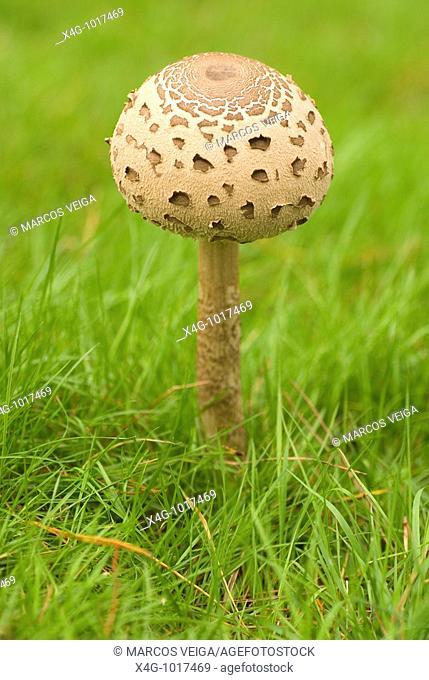 Seta comestible conocida como cucurril, parasol o lepiota, Parasol mushroom, Macrolepiota procera, Pontevedra, España