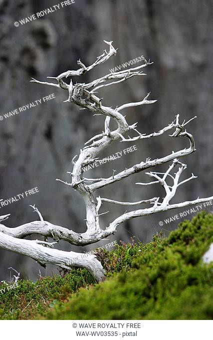 View of old tree, Trinity, Newfoundland, Canada