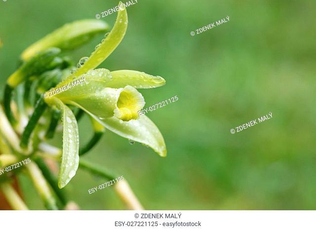 Closeup of beautiful vanilla spice plant flower in bloom. Masoala natural reserve, Madagascar
