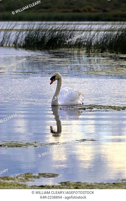 Mute Swan (Cygnus olor), Lough Ennell, County Westmeath, Ireland