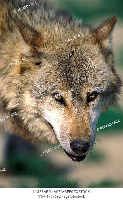 European Wolf, canis lupus, Portrait of Adult