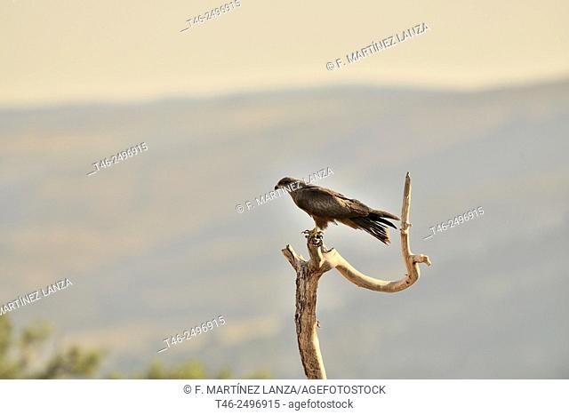 Black Kite Milvus migrans. Made in the Sierra de Guadarrama