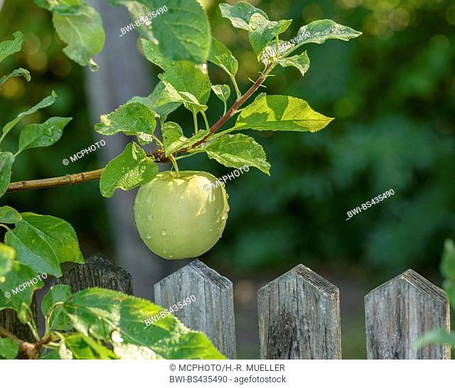 apple (Malus domestica 'Luna', Malus domestica Luna), cultivar Luna