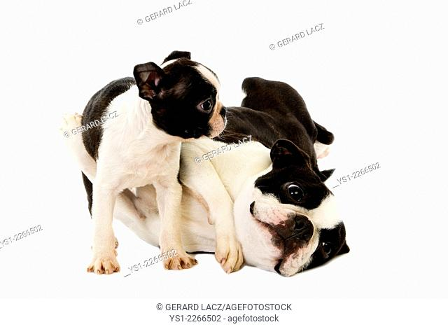 Boston Terrier Dog, Mother and Pup against White Background