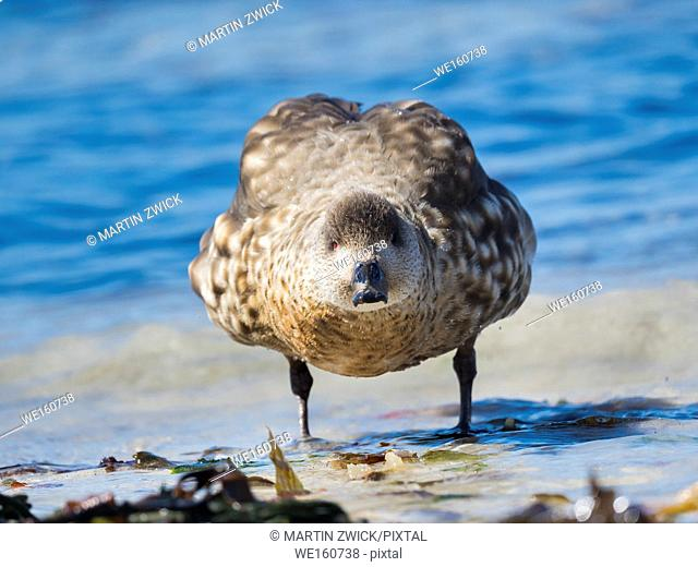 Crested Duck (Lophonetta specularioides). South America, Falkland Islands, October
