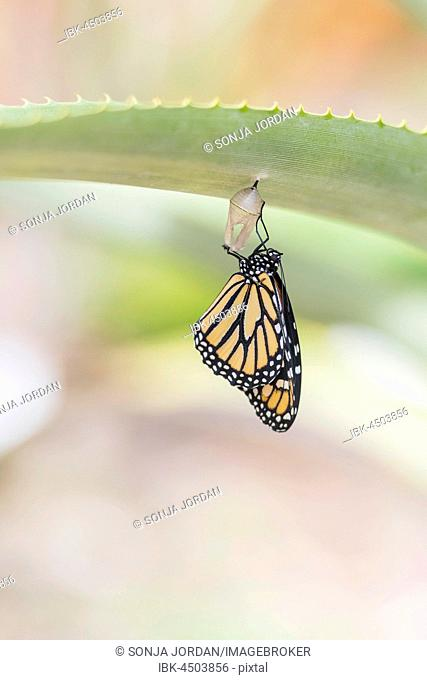 Freshly hatched monarch butterfly (Danaus plexippus), Tenerife, Canary Islands, Spain