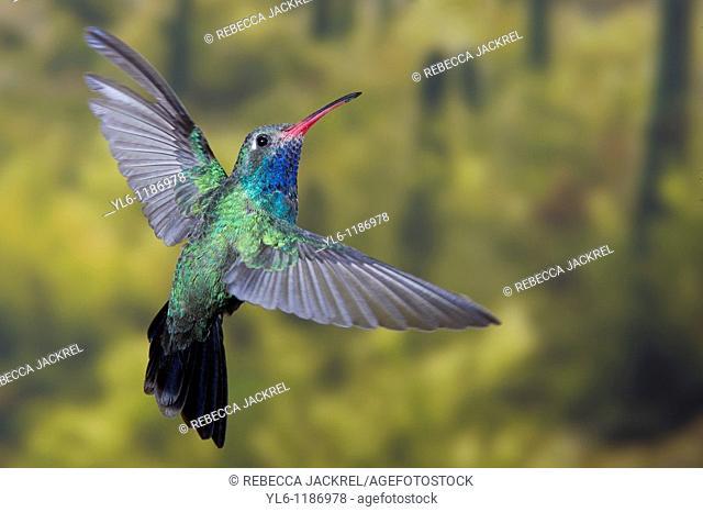 North America, USA, Arizona, Madera Canyon, Santa Rita Lodge  Male Broad-billed hummingbird in flight