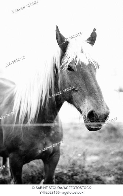Beautiful horse. Parentis-en-Born. Aquitaine. Landes. France. Europe
