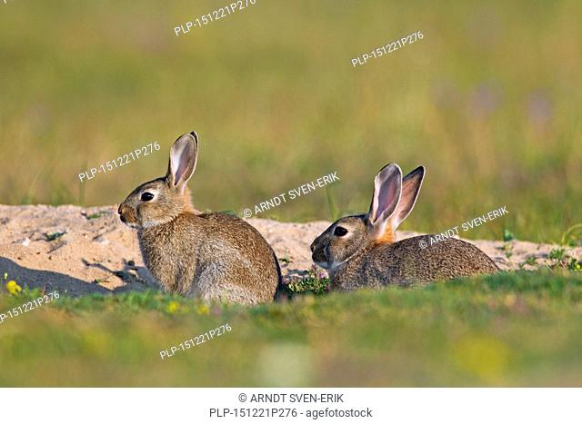 European rabbits / common rabbit (Oryctolagus cuniculus) adult with young sitting in front of burrow / warren entrance in meadow