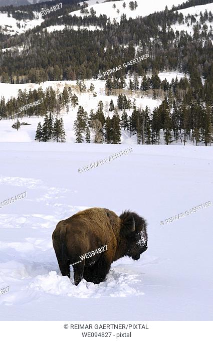 Lone Bison pausing from clearing snow to graze in Soda Butte Canyon Yellowstone Wyoming