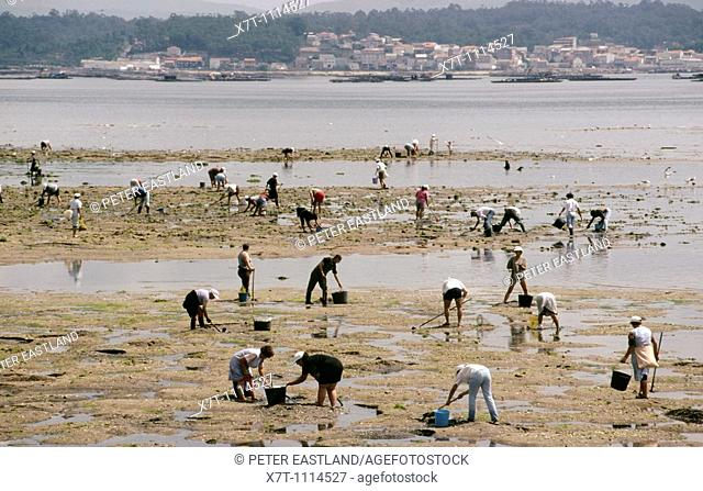 Workers digging for 'berberichos' cockles in the Ria de Arousa at A Pobra do Caraminal, Galicia, North-West Spain