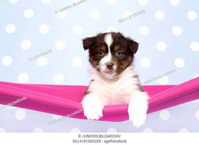 Australian Shepherd. Puppy (6 weeks old) lying in a pink hammock. Studio picture against a blue background with white polka dots. Germany