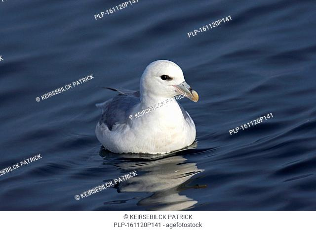 Northern fulmar / Arctic fulmar (Fulmarus glacialis) light phase swimming in Greenland Sea