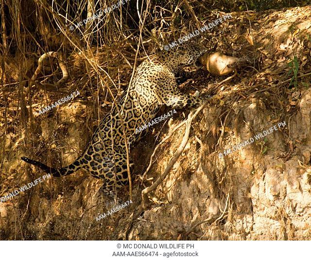 Jaguar, Panthera onca, carrying a Capybara killed just seconds earlier in the river, Pantanal, Brazil, South America