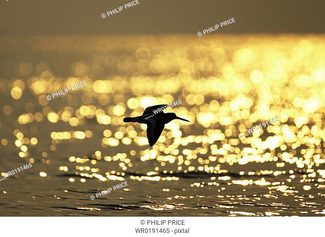 Oystercatcher Haematopus ostralegus flying, silhouetted against sunrise reflected in water Argyll Scotland, UK