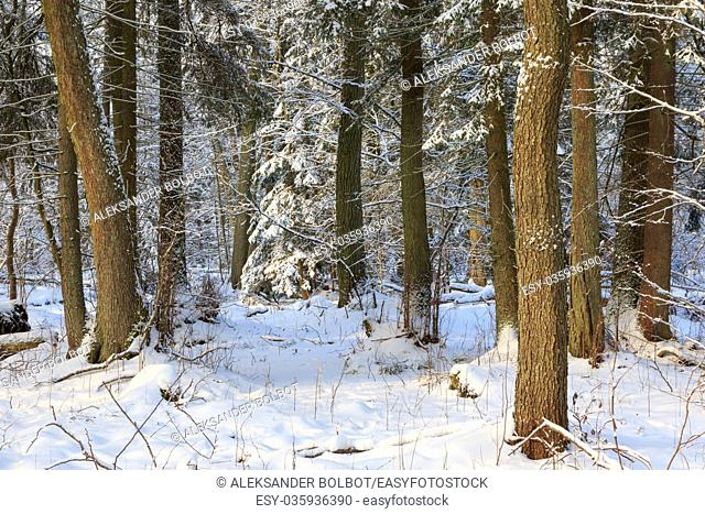 Winter landscape of riparian stand in sunset light with young spruces snow wrapped,Bialowieza Forest,Poland,Europe