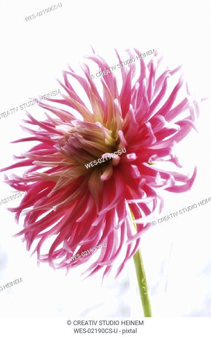 Cactusdahlia, Dahlia variabilis