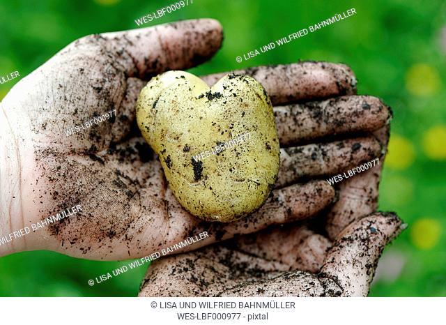 Woman's hands holding heart shaped potao