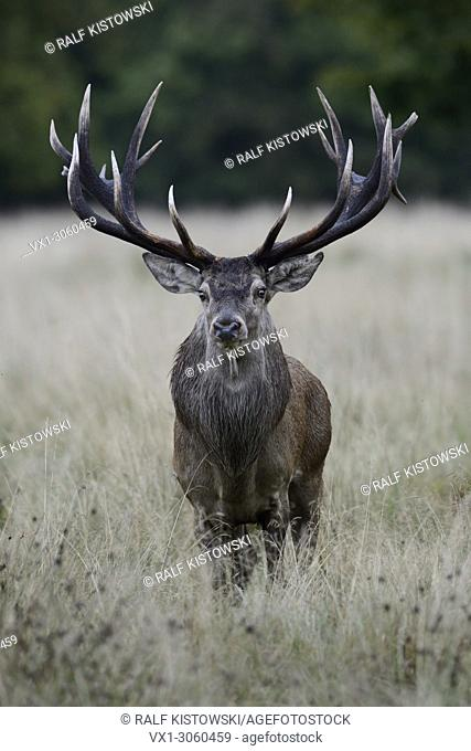 Powerful Red Deer (Cervus elaphus) stands towards in high grass, directly in front of the photographer, Germany, Europe