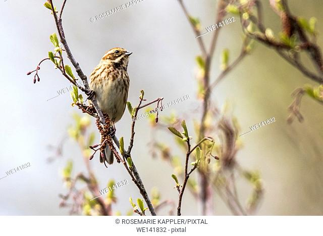 germany, saarland, Beeden, A reed bunting is sitting on a branch