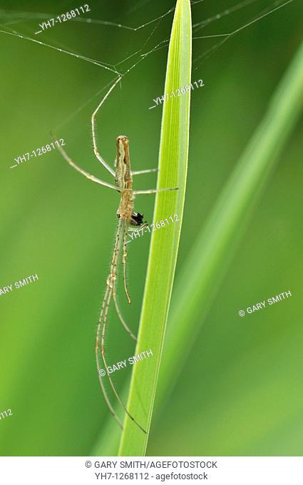 Spider, Tetragnatha extensa, common stretch spider, long jawed spider, with prey on reed stem by garden pond, Norfolk, UK