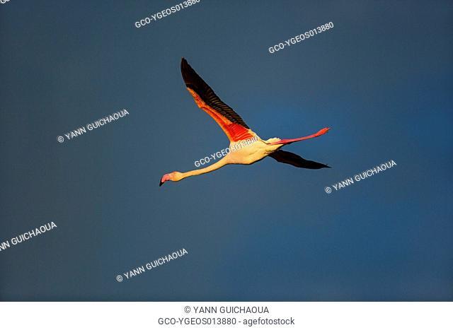 Greater Flamingos, Phoenicopterus roseus,Camargue, France