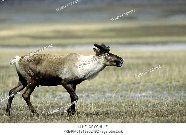 Woodland Caribou, bull, Reindeer, Rangifer tarandus, Rangifer tarandus caribou