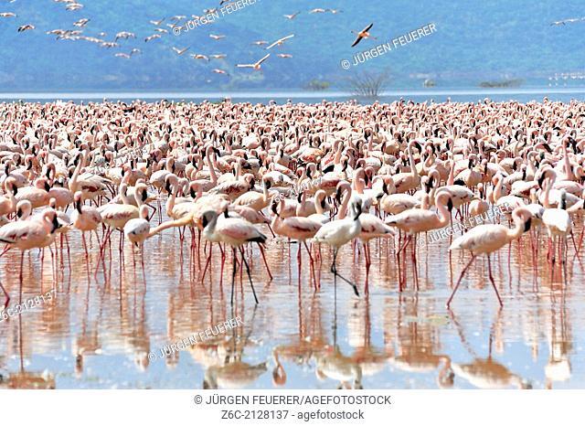 Assembly of Flamingos, Phoenicopterus minor, in African Rift Valley, Lake Bogoria, Kenya