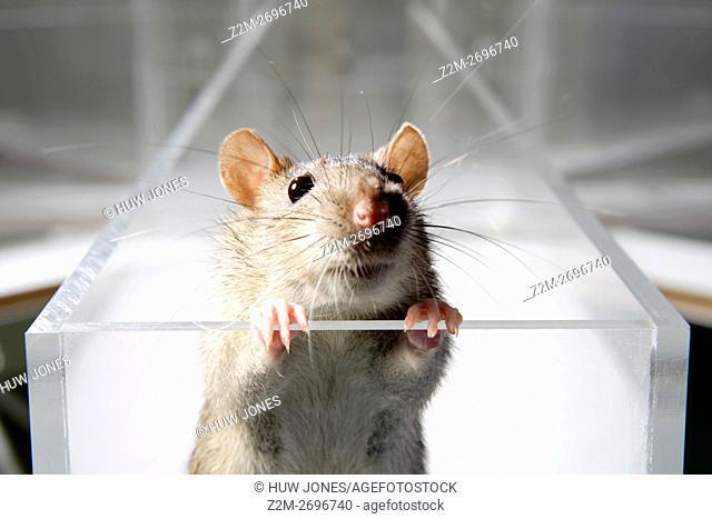 Laboratory Rat in psychology experiment, glass maze
