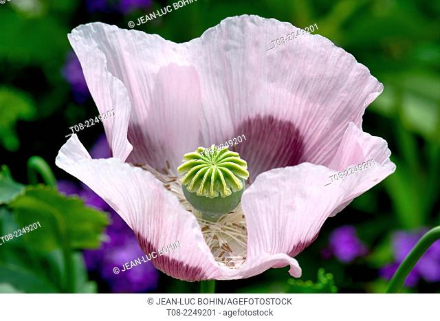 France,27,giverny, Monet's garden : poppy