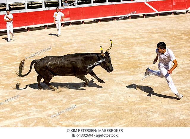 A bullfighter tries to escape a charging bull, Camargue races, Amphitheatre, Arles, Provence-Alpes-Côte d'Azur, France