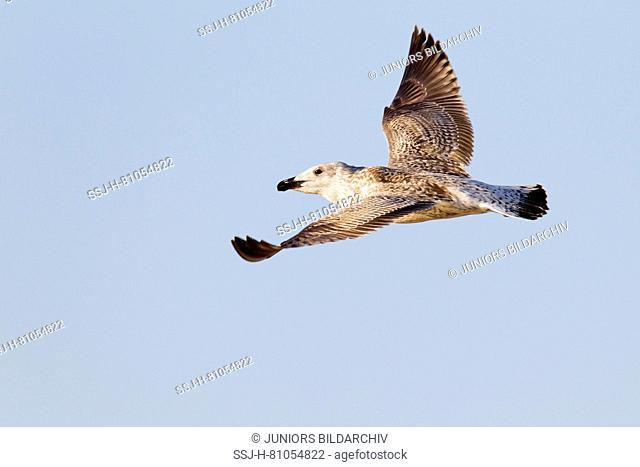 Great Black-backed Gull (Larus marinus), immature in first winter plumage in flight