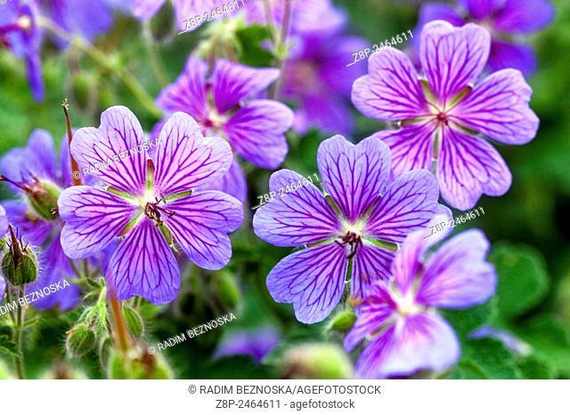 Geranium renardii 'Terre Feanche'