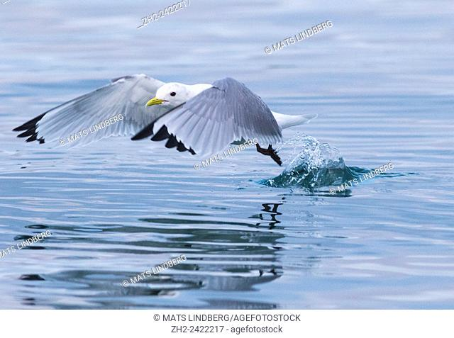 Black-legged kittiwake, Rissa tridactyla, lifting from the water and flying away, Andenes, Norway