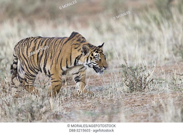 South Africa, Private reserve, Asian (Bengal) Tiger (Panthera tigris tigris), young 6 months old, walking