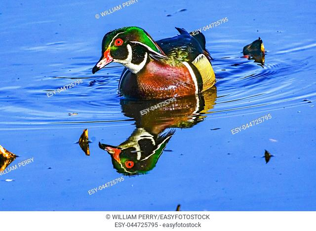 Male Wood Duck Carolina Duck Aix Sponsa Perching Duck Green Lily Pads Juanita Bay Park Lake Washington Kirkland Washiington