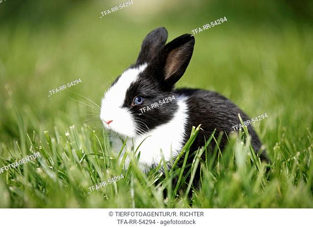 young dwarf rabbit