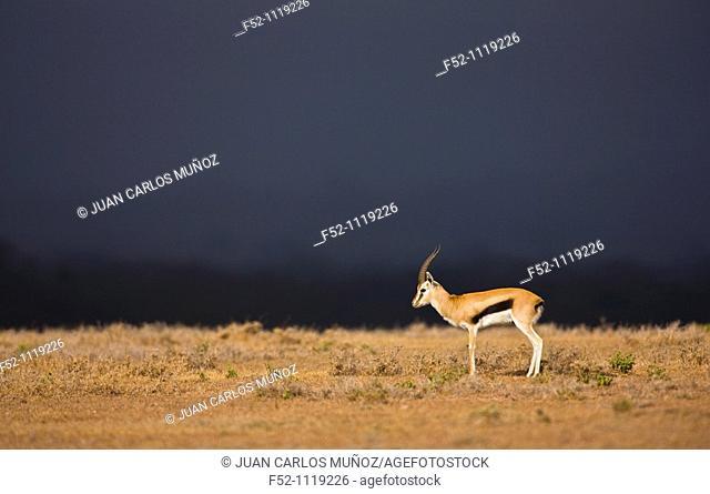 Thomson's gazelle (Eudorcas thomsonii), Solio Ranch Reserve, Kenya