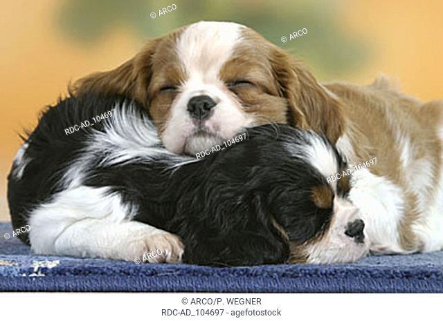 Cavalier King Charles Spaniel puppies 7 weeks