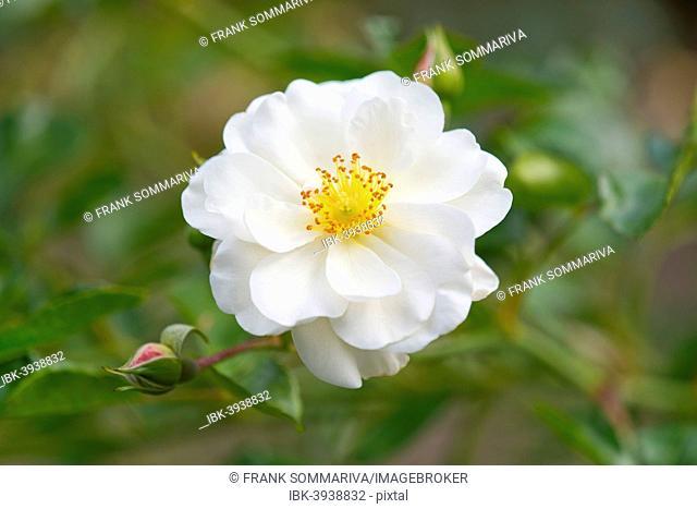 Rose (Rosa spp.), white blossom, Lower Saxony, Germany
