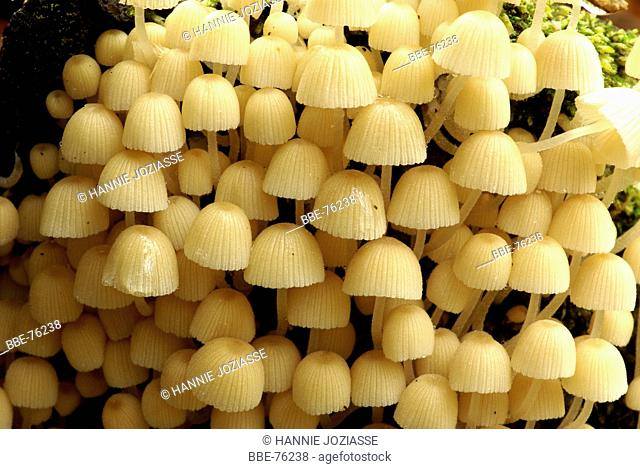 A group of Fairy inkcaps on a tree
