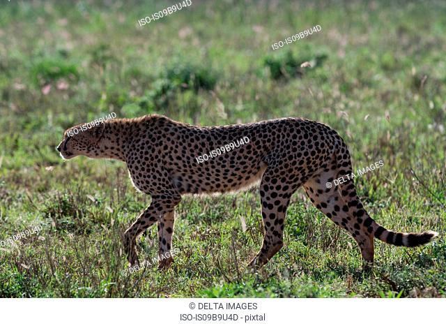 Cheetah (Acinonyx jubatus) walking in the savannah,, Tsavo, Kenya