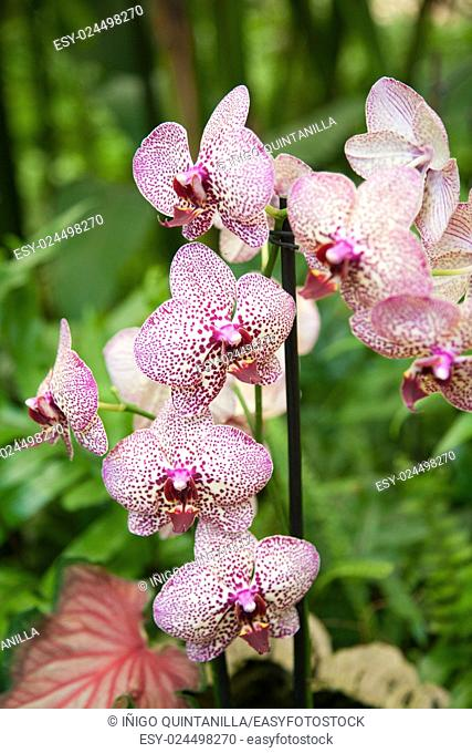 beautiful tropical white pink flower named Phalaenopsis, also known as moth orchid or Phal