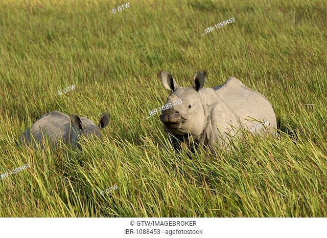 Indian Rhinoceros (Rhinoceros unicornis) or Great One-horned Rhinoceros with young, endangered, Kaziranga National Park, Assam, India