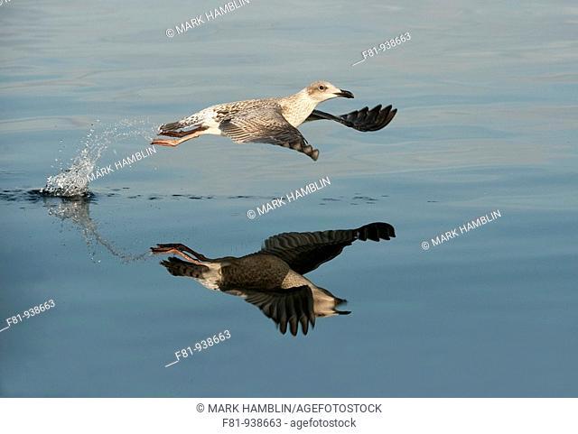 Herring gull Larus argentatus in flight  August 2009