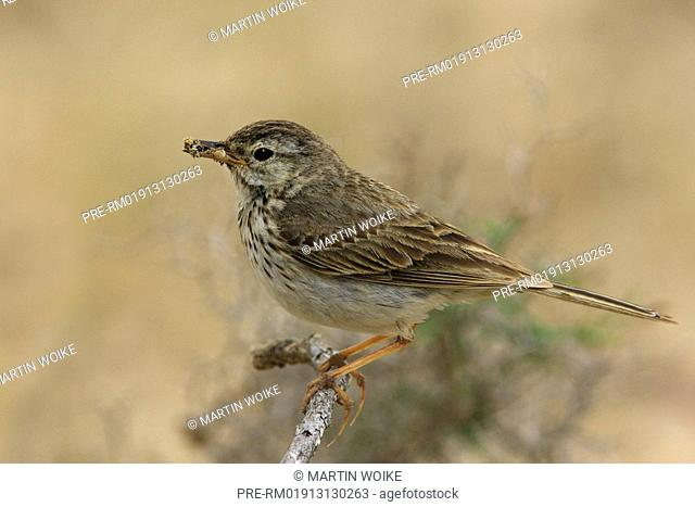 Canarian pipit, Anthus berthelotii