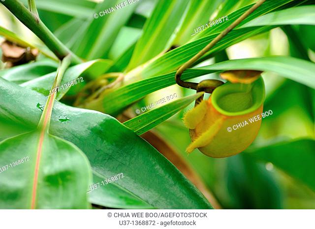 Nepenthes pitcher plant. Orchid Garden, Kuching, Sarawak, Malaysia